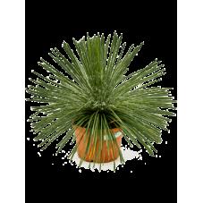 agave à fleurs geminées