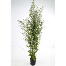 phyllostachys nigra - bambou noir 175-200 cm - pot de 12 litres