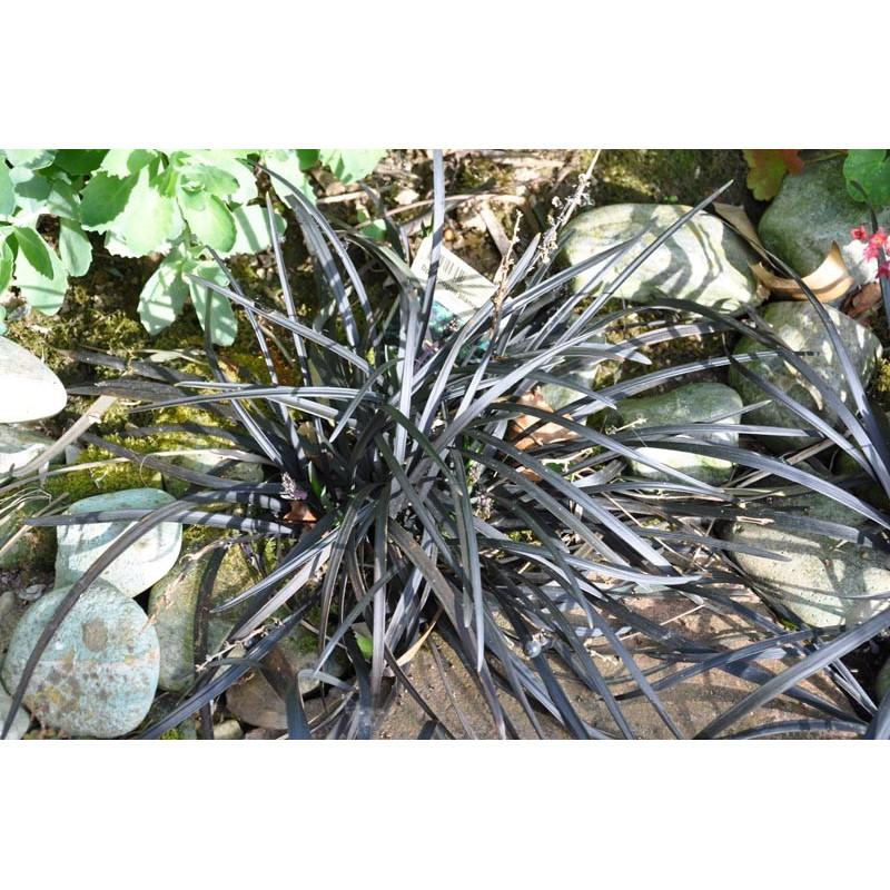 Ophiopogon noir