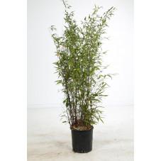 Phyllostachys nigra - bambou noir 200/225 cm - pot de 18 litres