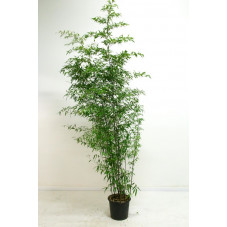 Phyllostachys nigra - bambou noir 250 cm - pot de 30 litres