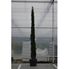 cyprès d'Italie 350/400 cm - pot de 100 litres