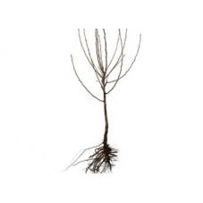 pommier buisson 2 ans - en racines nues
