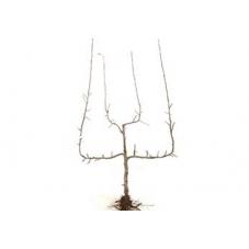 pommier palmette verrier double U - racines nues