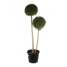 ligustrum jonandrum - 2 boules - 2 tiges