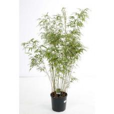 bambou fargesia rufa 125 cm