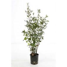 chêne vert buisson 60/80 cm - pot de 3 litres