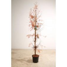 metasequoia en taille 175/200 cm pot de 20 litres