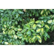 eleagnus pungens maculata auréa