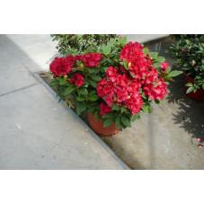 Rhododendrons  nains en variétés