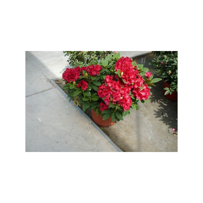 Rhododendron  nain