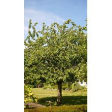"Cerisier "" bigarreau napoléon """