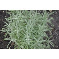 Santolina chamecyparissus