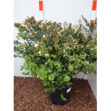 abelia grandiflora 50/70 cm - pot de 9 litres