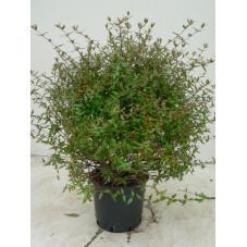 Abelia prostrata
