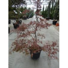 """acer palmatum """"stella rosea"""" gros sujet"""