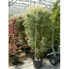 "Acer palmatum ""butterfly"""