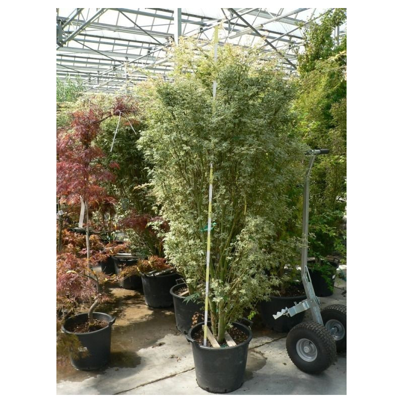 """Acer palmatum """"butterfly"""""""
