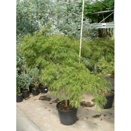 """Acer palmatum """" dissectum veridis"""""""