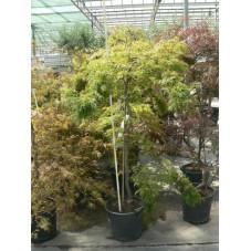 """Acer palmatum """" dissectum veridis"""" gros sujet"""