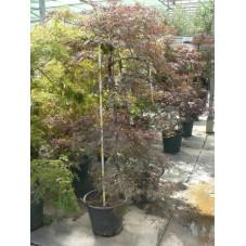 Acer palmatum dissectum nigrum
