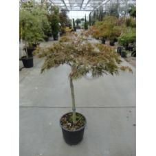 """Acer palmatum dissectum """"garnet """""""