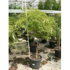 """Acer palmatum dissectum """" garnet """""""