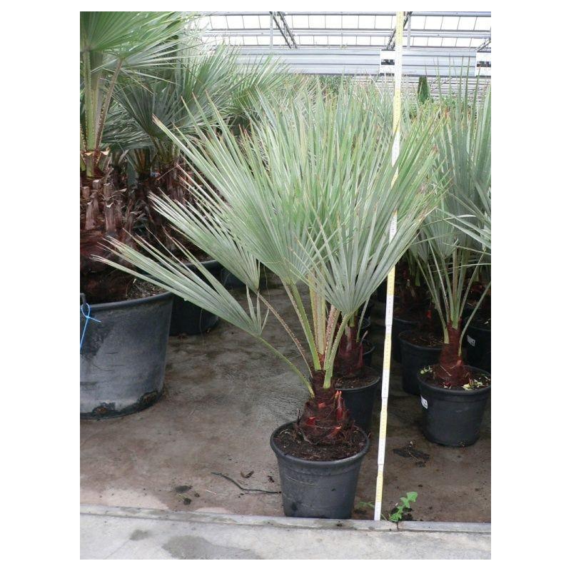 palmier bleu du Mexique