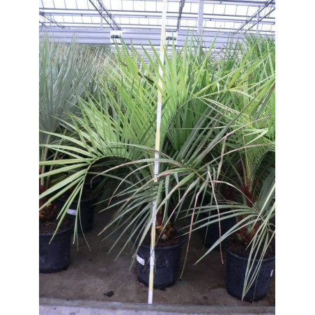Butia capitata (palmier)