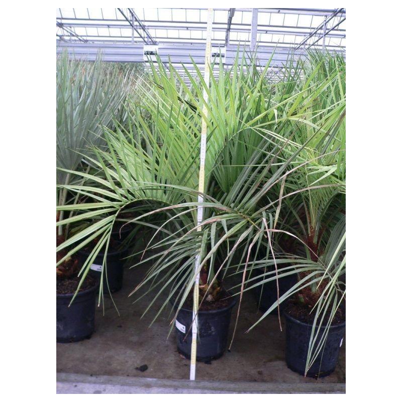 palmier à vin