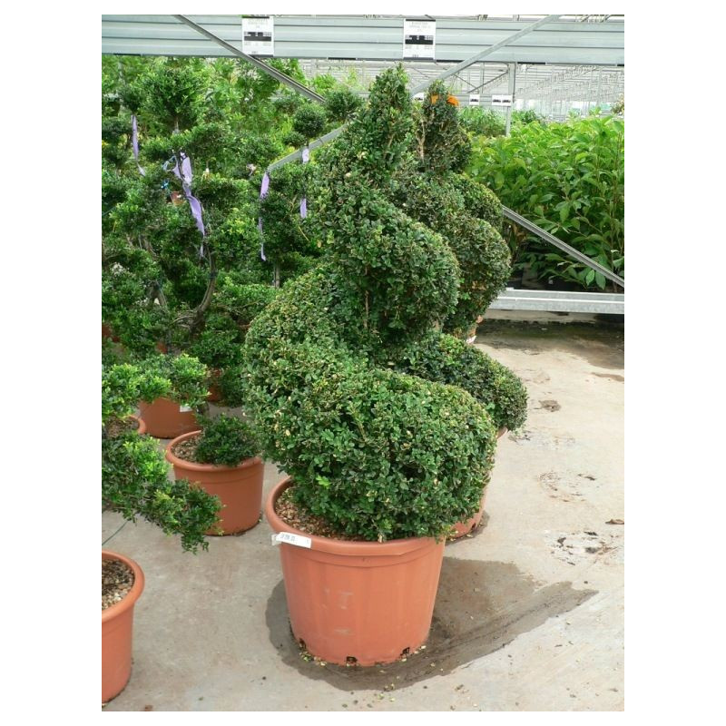 Vente de buis spirale buxus sempervirens for Decoration jardin spirale