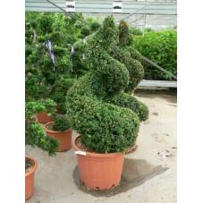 Buxus sempervirens spirale