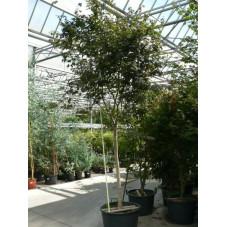 Acer palmatum bloodgold