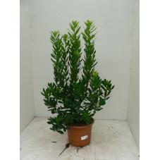 Arbustus unedo - arbousier 80/+cm pot de 12 Litres