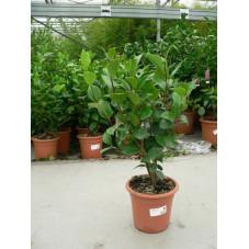 """Camélia japonica  """"boutonné """""""