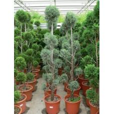 """Cupressus arizonica """" pom pom """""""