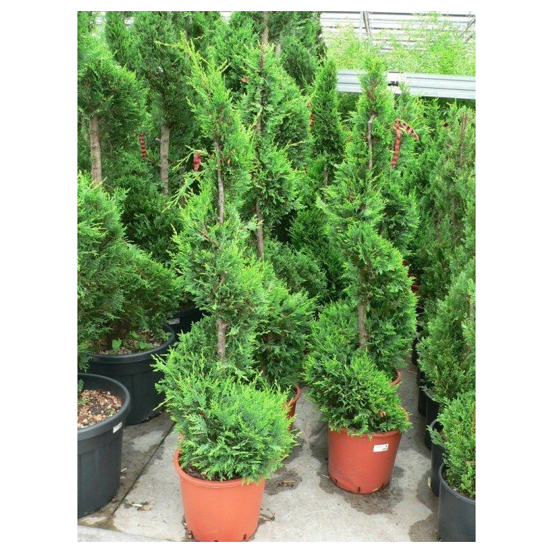 Cupressus castle wellan gold