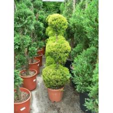 "Cupressus  macrocarpa  ""goldcrest"""