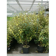 "Eleagnus ebbengei ""limelight """