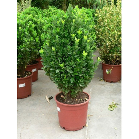 Euonymus japonica vert
