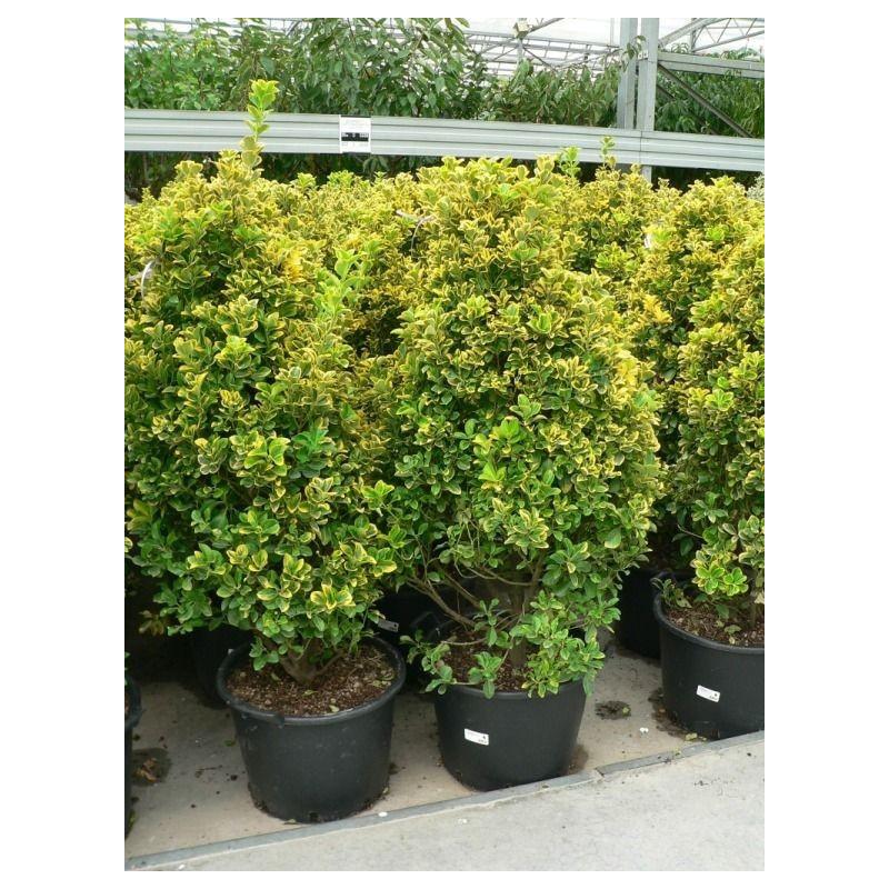 Vente de fusain dor euonymus japonica aurea for Tailler yucca exterieur