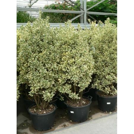 Fusain panaché ( euonymus japonica bravo )