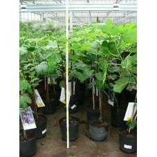 Ficus carica  (figuier)  mini tige