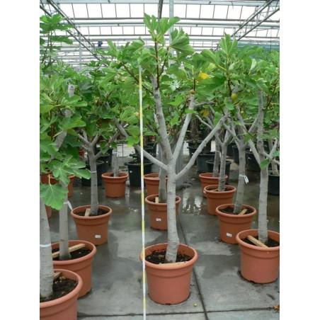 Ficus carica 1/4 de tige