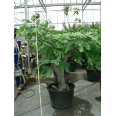 """Ficus carica  """" gros sujet """" ( figuier )"""