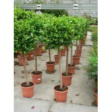 "Ficus nitida "" boule "" diamet. 35cm"