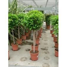 """Ficus nitida """" boule """" 50 cm"""