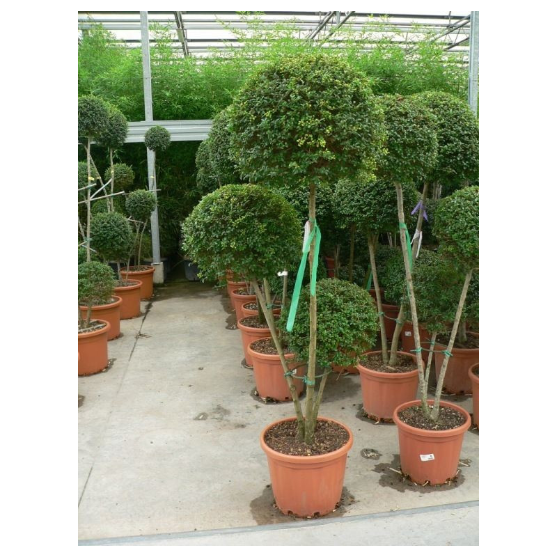 Ligustrum jonandrum 3 boules 3 tiges