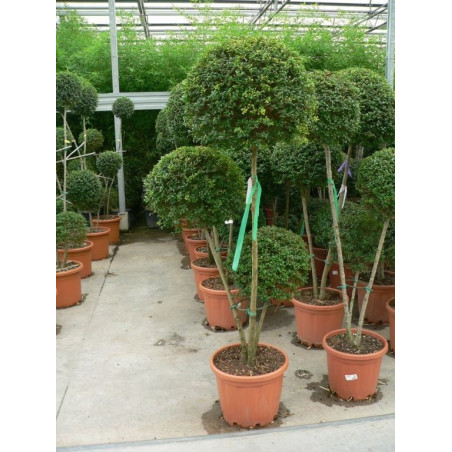 Ligustrum jonandrum 3 boules 3 tiges extra