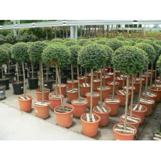 Ligustrum jonandrum 1/2 tige boule